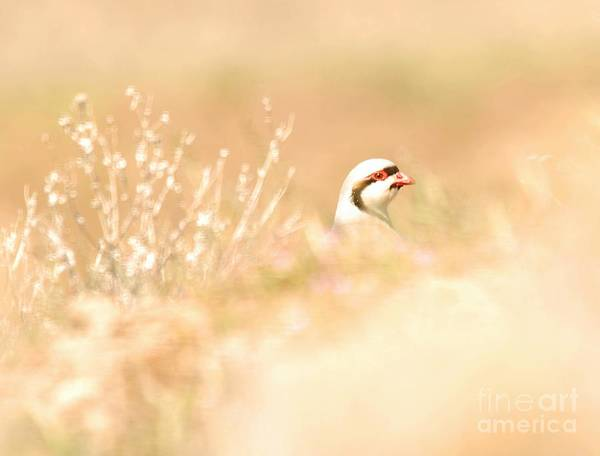 Chukar Art Print featuring the photograph Chukar Partridge by Dennis Hammer