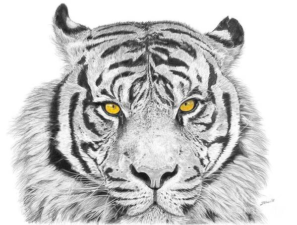 Tiger Art Print featuring the drawing Eyes Of The Tiger by Shawn Stallings