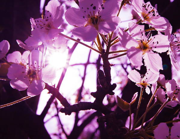 Purple Art Print featuring the photograph Fairy Flower by Amy Zwick