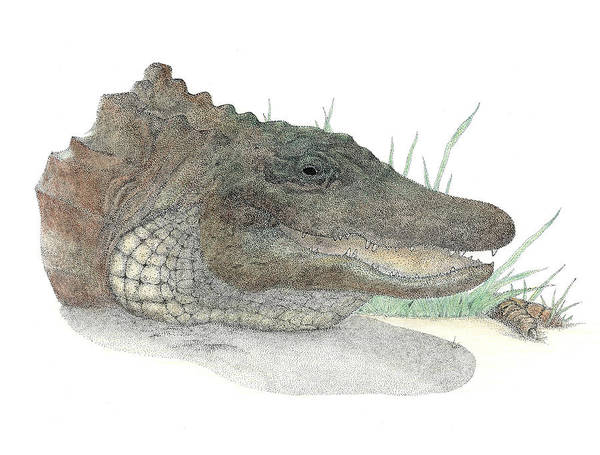 Gator Art Print featuring the drawing Gator by David Weaver