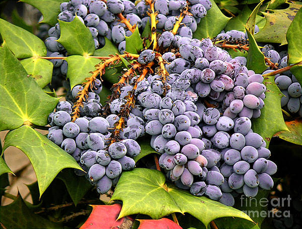 Nature Art Print featuring the photograph Grapes With Leaves by Lucyna A M Green