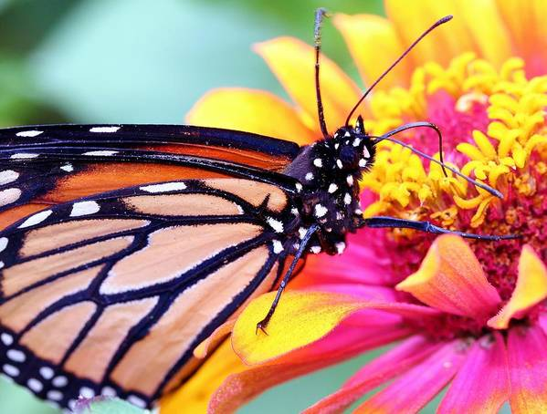 Butterfly Art Print featuring the photograph Happiness by Mitch Cat