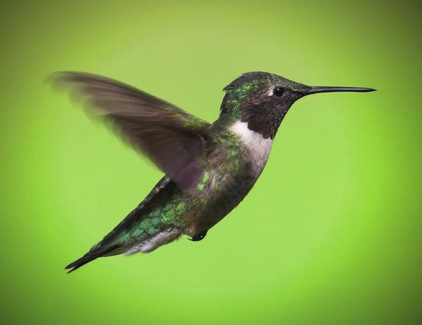Ruby Art Print featuring the photograph Hummer by Ray Akey