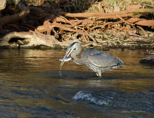 Heron Art Print featuring the photograph Lunch On The Neuse River by George Randy Bass