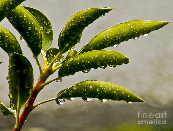 Wet Art Print featuring the photograph Early Morning Raindrops by Carol F Austin