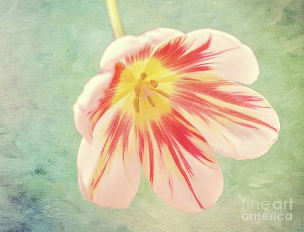 Tulip Art Print featuring the photograph Open Bi-coloured Tulip by Elaine MacKenzie