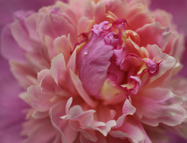 Pink Peony Print featuring the photograph Peony Opening by Sandy Keeton