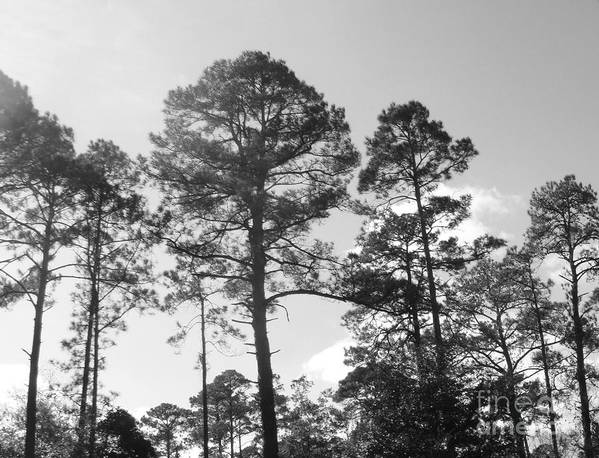 Pine Trees Art Print featuring the photograph Pine Trees by WaLdEmAr BoRrErO