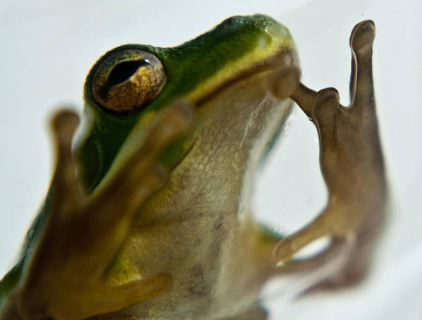 Frog Art Print featuring the photograph Please Not In A Frogs Eye by Douglas Barnett