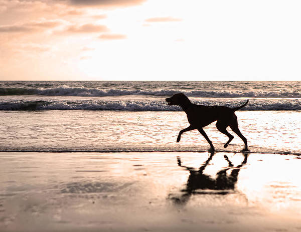 Dog Art Print featuring the photograph Silhouette Of Dog On Beach At Sunset by Susan Schmitz