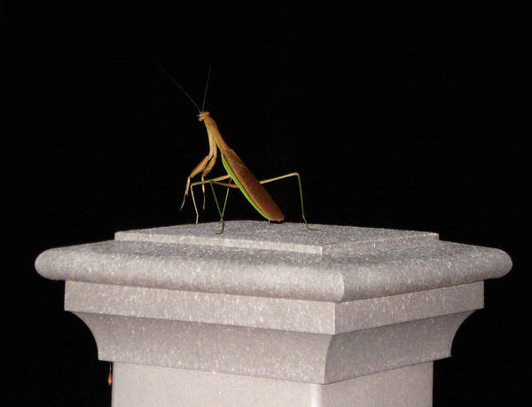Praying Mantis Art Print featuring the photograph The Prince Of Darkness by Kevin Callahan