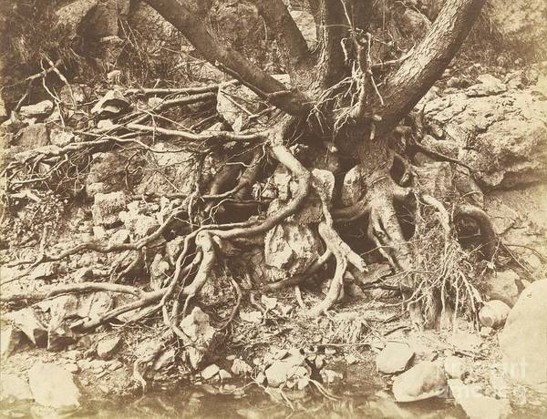 Art Print featuring the photograph Tree With Tangle Of Roots by Hugh Owen