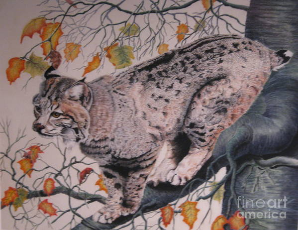 Bobcat Art Print featuring the pastel Treed by John Huntsman