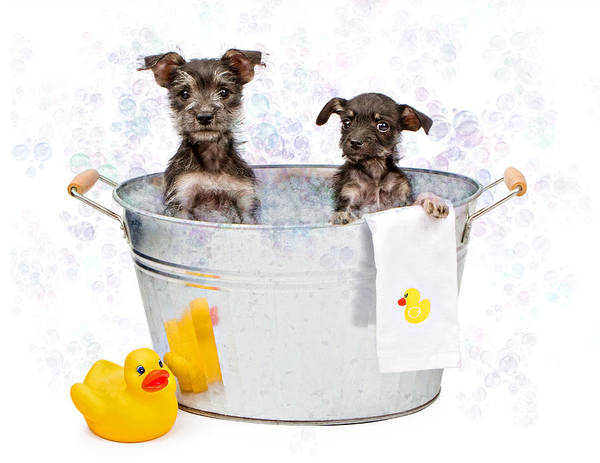 Dog Art Print featuring the photograph Two Scruffy Puppies In A Tub by Susan Schmitz