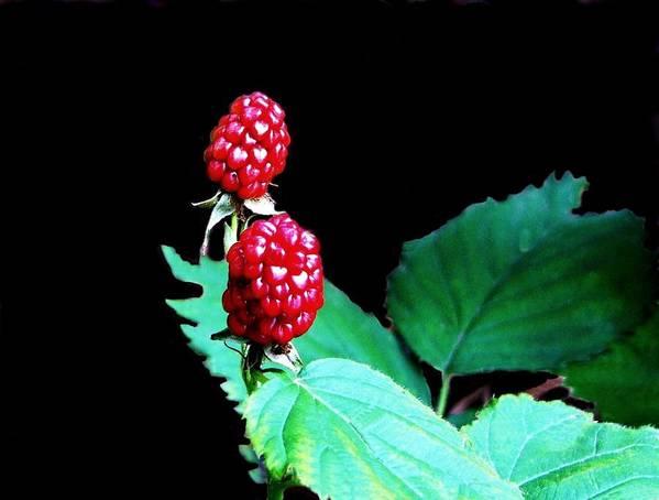 Black Berries Art Print featuring the digital art Unripe Blackberries by Kenna Westerman