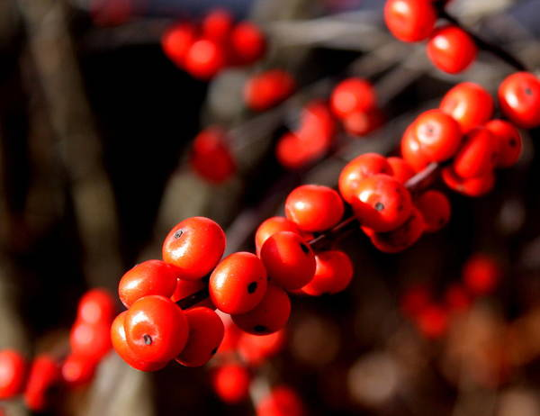 Red Berries Art Print featuring the photograph Winter Berries by Diane Merkle