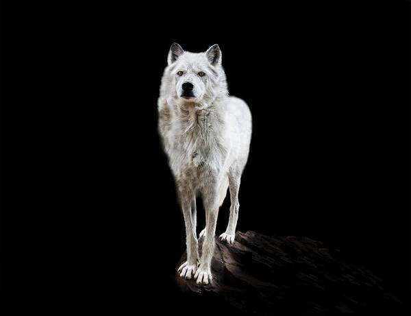 Wolf Art Print featuring the photograph Wolf by Katrina Martlew