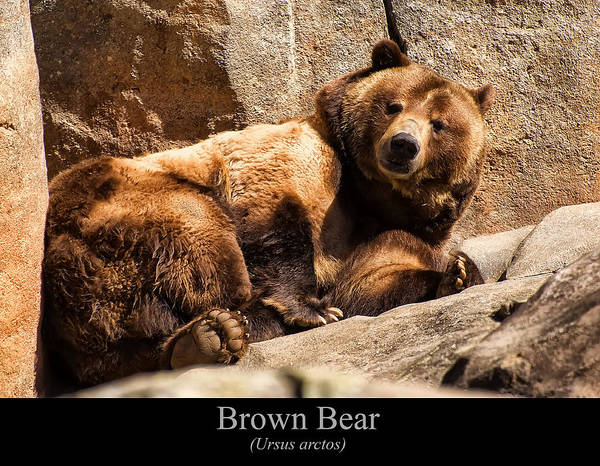 Class Room Posters Art Print featuring the digital art Brown Bear by Chris Flees