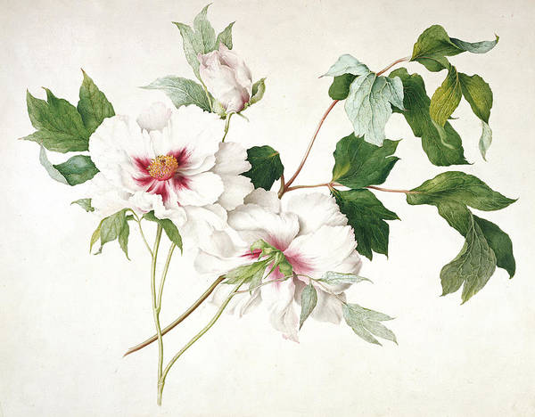 Botanical Art Print featuring the painting Japanese Tree Peony by Lucy Cust