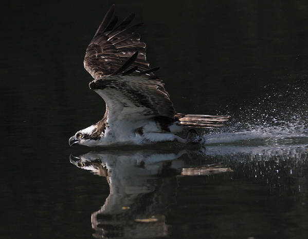 Osprey Art Print featuring the photograph Merciless by Kenneth Haley