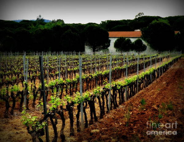 Vineyard Print featuring the photograph Provence Vineyard by Lainie Wrightson