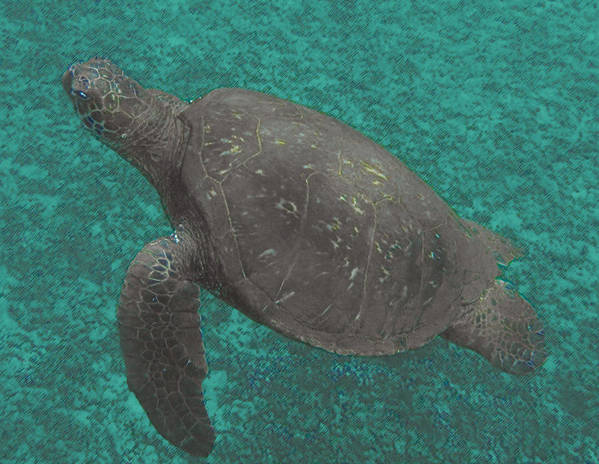 Art Print featuring the photograph Turtle Ascending by John Holfinger