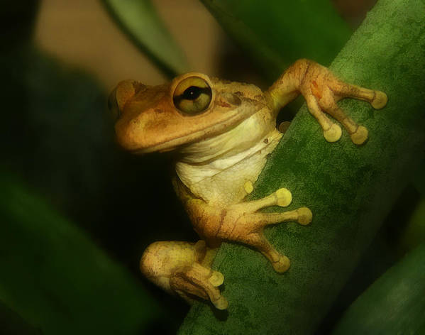 Animal Photography Art Print featuring the photograph Young Cuban Tree Frog. by Chris Kusik