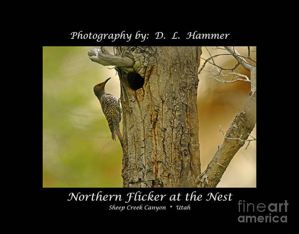 Birds Art Print featuring the photograph Red-shafted Flicker by Dennis Hammer