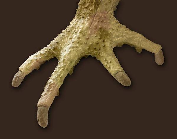 European Toad Art Print featuring the photograph Toad Foot, Sem by Steve Gschmeissner