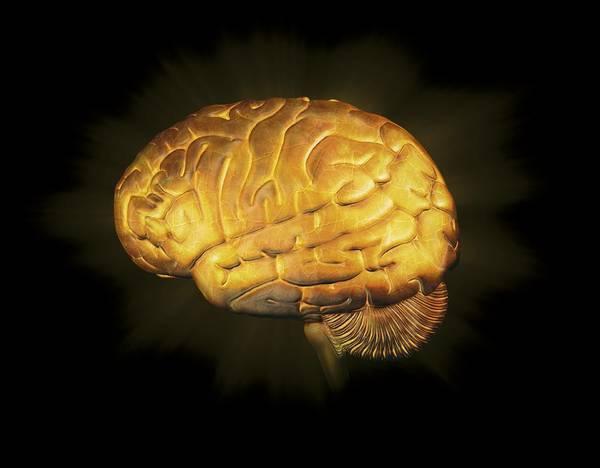 Human Art Print featuring the photograph Human Brain, Artwork by Claus Lunau