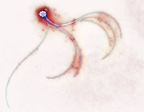 Anaerobiospirillum Thomasii Art Print featuring the photograph Anaerobiospirillum Thomasii Flagella, Tem by Centre For Infectionshealth Protection Agency