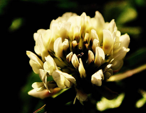 Nature Art Print featuring the photograph Clover by John Blanchard
