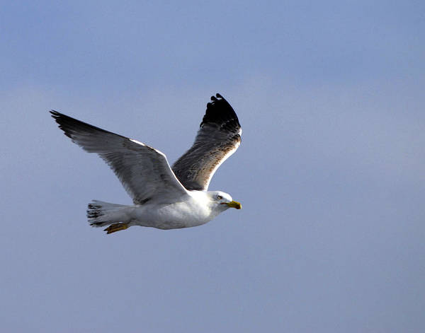 Gull Art Print featuring the photograph Graceful Gull by Don Wolf