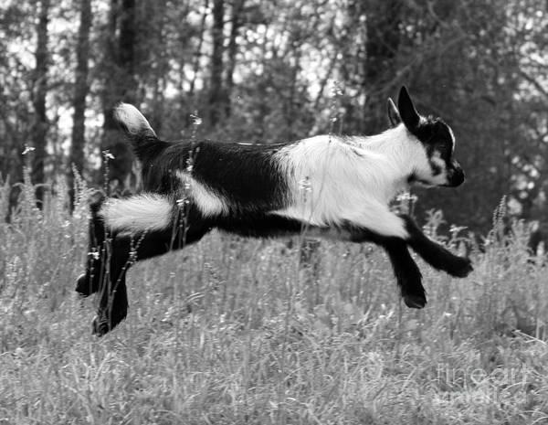 Jumping Goat Art Print featuring the photograph Hop Skip Jump by Christean Ramage