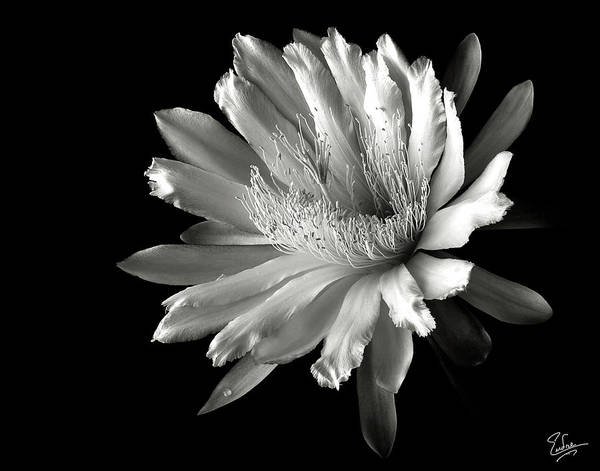 Flower Art Print featuring the photograph Night Blooming Cereus In Black And White by Endre Balogh