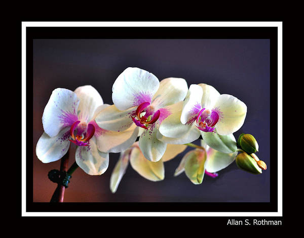 Orchid Art Print featuring the photograph Orchid 4 by Allan Rothman