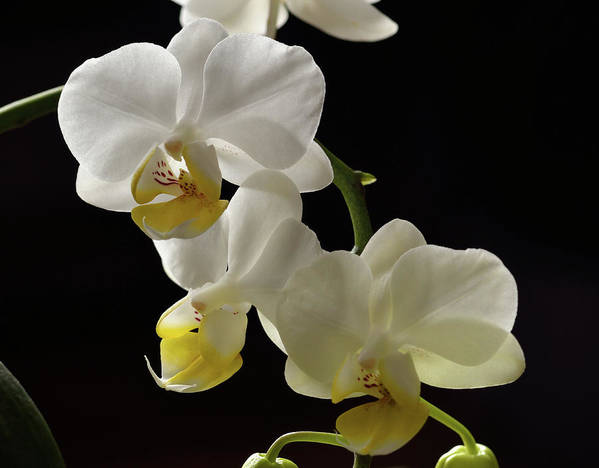 White Art Print featuring the photograph Orchid Blossom Cluster by John Brink