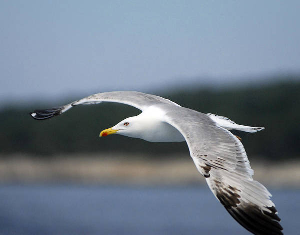 Gull Art Print featuring the photograph Smooth Sailing by Don Wolf