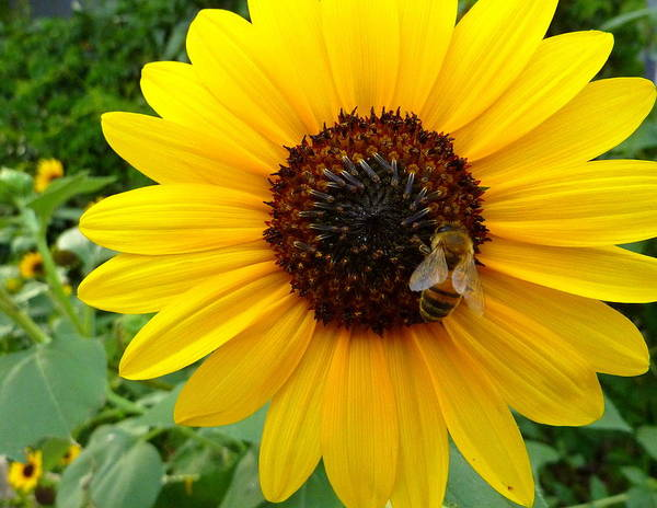 Bee Art Print featuring the photograph Sunny Bee by Dan Stone