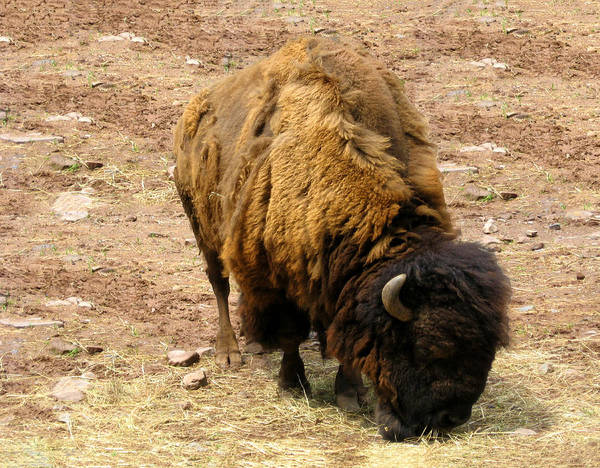 The American Buffalo Art Print featuring the photograph The American Buffalo by Bill Cannon