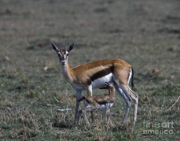 Sandra Bronstein Art Print featuring the photograph Thomson Gazelle And Newborn Calf by Sandra Bronstein