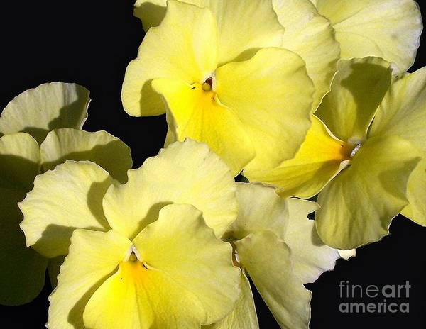 Flower Art Print featuring the photograph Yellow Violas by Erica Hanel