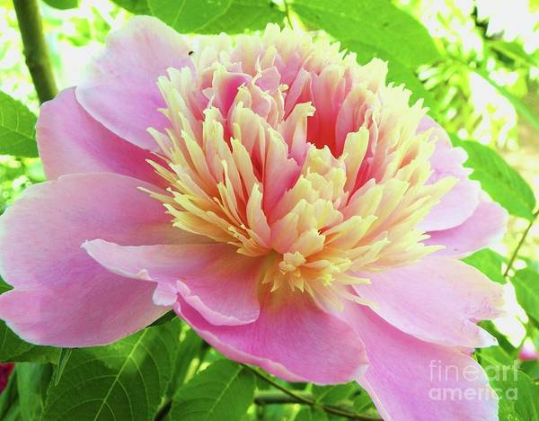 Flower Art Print featuring the photograph Nebraska City Peony by Christine Belt