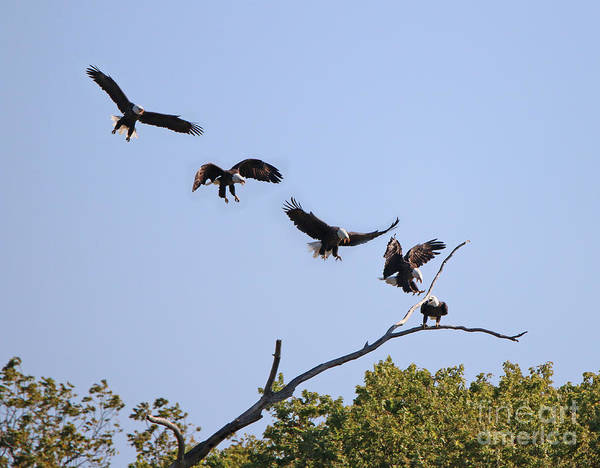Bald Eagles Art Print featuring the photograph Bald Eagle Sequence 1277 by Jack Schultz