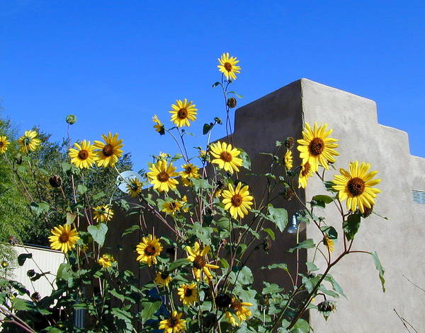 Flowers Art Print featuring the photograph Blackeyed Susans And Adobe by Joseph R Luciano