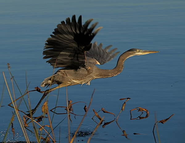 Great Blue Heron Art Print featuring the photograph Blue Heron 2 by Peter Gray