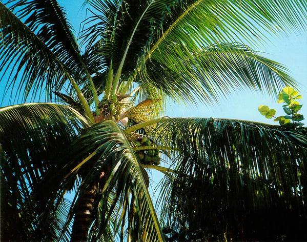 Jamaica Art Print featuring the photograph Coconut Tree by Debbie Levene