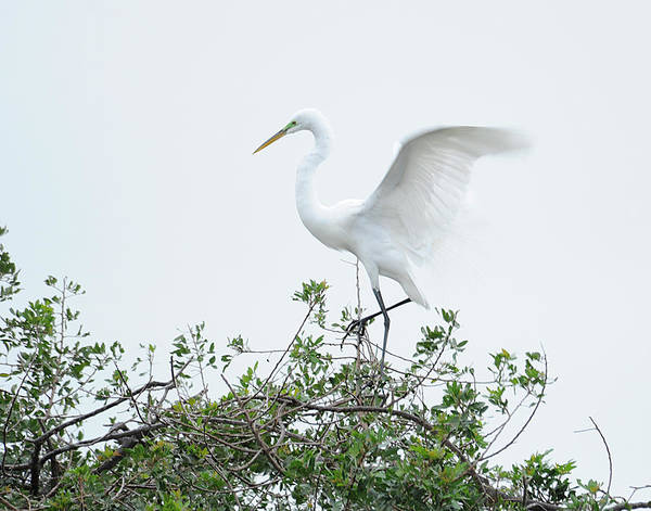 Egret Art Print featuring the photograph Egret Balance by Keith Lovejoy