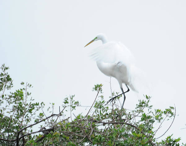 Egret Art Print featuring the photograph Egret Soft Landing by Keith Lovejoy