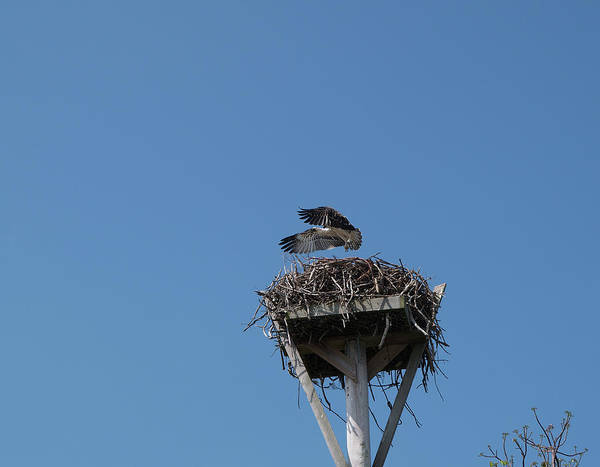 Osprey Art Print featuring the photograph First Flight by Carol McCutcheon